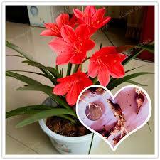 aliexpress buy 2 bulbs zephyranthes candida bulbs not