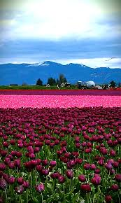 tulip town mount vernon wa we were able to see the last of the