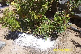 Christmas Tree Aphids by How Does My Garden Grow Treating Roses For Aphids