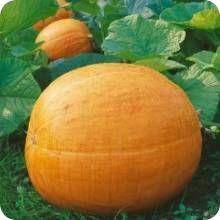 Cinderella Pumpkin Seeds Australia by Shop For Pumpkins At The Incredible Seed Company Heirloom