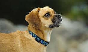 do pugs and puggles shed puggle breed information