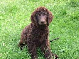 Top Dogs That Dont Shed Hair by 12 Dogs That Dont Shed Hair Ireland My Little World May