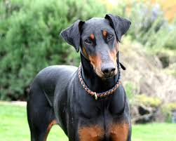 Do Miniature Doberman Pinschers Shed by Doberman Pinscher A Message Spirit Animal Totems