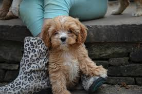 do cavapoos shed a lot best cavapoo breeders