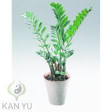 glücksfeder zamie zamioculcas zamiifolia luftreiniger feng shui schlafzimmer