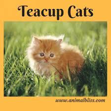 tea cup cat teacup cats unique cat breeds designer cats animal bliss