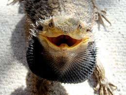 Bearded Dragon Shedding In Patches by How To Tell A Bearded Dragon U0027s Album On Imgur