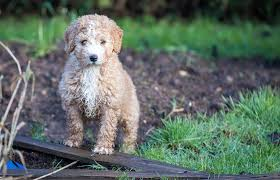 Do Wheaten Terrier Puppies Shed by 20 Dog Breeds For Allergy Sufferers