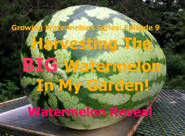Fertilizer For Pumpkins And Watermelons by Growing Watermelons Series Harvesting The Big Watermelon In My