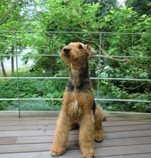 Airedale Terrier Non Shedding by 50 Best Airedale Terrier Images On Pinterest Airedale Terrier
