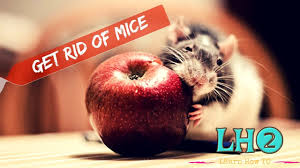 How To Get Rid Of Mice In Your House Permanently In All Naturally ... Mice How To Identity And Get Rid Of In The Garden Home Rats Guaranteed 4 Easy Steps Youtube Does Peppermint Oil Repel Yes Best 25 Getting Rid Rats Ideas On Pinterest 8 Questions Answers About Deer Hantavirus Mouse Control To Of In The Keep Away From Bird Feeders Walls 2 Quick Ways That Work Get Rid Of Rats Using This 3 Home Methods Naturally Dangers Rat Poison Dr Axe Out Your Without Killing Them