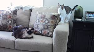 Microfiber Sofas And Cats by How To Stop Cats From Scratching Furniture