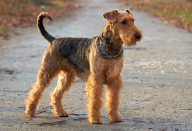 Cute Non Hypoallergenic Dogs by 5 Hypoallergenic Dog Breeds Petmd