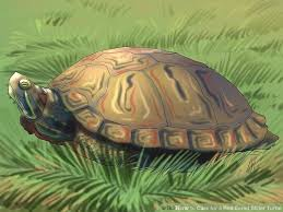 Turtle Shell Not Shedding Properly by How To Care For A Red Eared Slider Turtle With Pictures