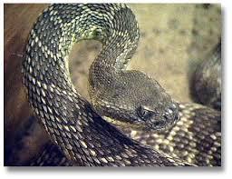 rattlesnakes desertusa
