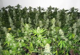 Grow Lamps For House Plants by How Far Away Do I Keep Grow Lights From Cannabis Plants Grow