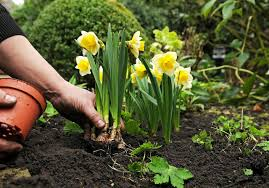 why are daffodils wonderful bulbs to plant