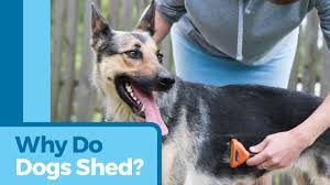 Dogs That Dont Shed Bad by Why Do Dogs Shed Petmd