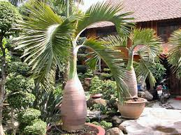 golden palm in pots trees in container gardens