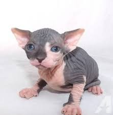 hairless cat price hairless sphynx kittens for in amalga utah classified