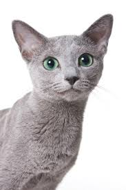 russian cat names 8 facts about russian blue cats mental floss