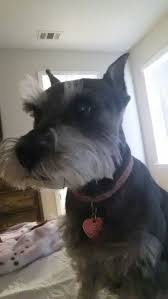 Do Giant Schnauzer Dogs Shed Hair by How To Raise Miniature Schnauzers 12 Steps With Pictures