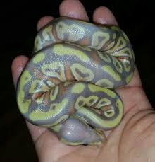 Ball Python Shedding Signs by Bill Stegall Just Posted This Beautiful Banana Sugar Ball Python