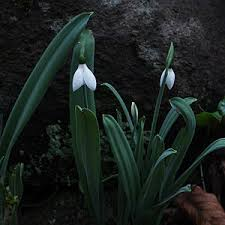 galanthus bulbs or snowdrops for sale nurseries usa