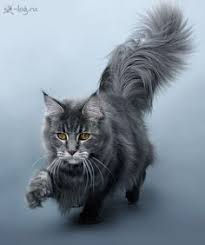 forest cat vs maine coon mountain fork maine coon kittens imported european bloodlines