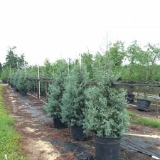 Leyland Cypress Christmas Trees Louisiana by Locate U0026 Find Wholesale Plants Plantant Com