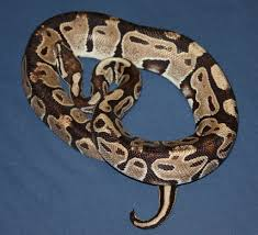 Snake Skin Shedding Lucky by Burn Scars