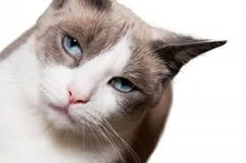 snowshoe cat snowshoe