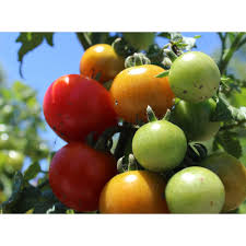 Tomato Plant - Vegetable Plants - Edible Garden - The Home Depot Sweet Tomatoes The Boston Lunch Lady Amazoncom Drunken 2 Pack Grocery Gourmet Food Hot Dog Of A Food Truck Pays Off For Monroe Fatherson Duo Michigan 6 Varties To Try A Healthier Chesas Gluten Tootin Free Truck Chicago Trucks Celebrity Tomato Prized Flavor And Large Fruit Kitchensurfing Blog Yellow Stock Photos Images Alamy Quebec Citys 5 Favorite Keep Exploring Oath Pizza Roaming Hunger