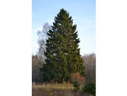 Types Of Christmas Trees In Oregon by The Different Species Of Christmas Tree And How To Pick The Best One