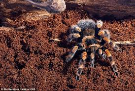 Do Tarantulas Molt Upside Down by Video Shows A Tarantula Crawling Out Of Its Own Skin Daily Mail
