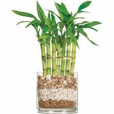 bambou d intérieur comment cultiver cette plante exotique
