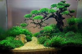 Favourites Ho dau tay The first aquarium by Trung Kala Plants