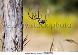 Pumpkin Patch Parker County Texas by Black And Yellow Garden Spider Corn Spider Or Writing Spider