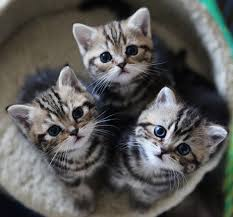 shorthair cat price how much does a shorthair kitten cost many