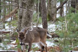 Does Deer Shed Their Antlers by Always Something To Find In The Cove Gosmokies
