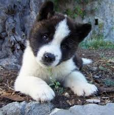 Do Akita Dogs Shed Hair by Akita Dog Breed Information And Pictures
