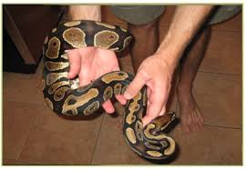 how to handle a pet snake handling tips