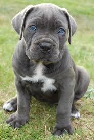 Cane Corso Italiano Shedding by 78 Best Roman Cane Corso U0027s Images On Pinterest Canes Animals