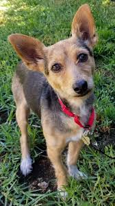 100 non shedding small dogs australia australian cattle dog