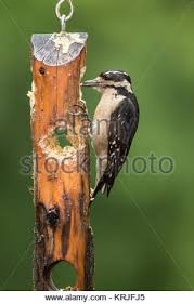 Female Hairy Woodpecker eating from a log suet feeder in Issaquah