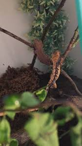 Crested Gecko Shedding Info by 2 Crested Geckos For Sale Liverpool Merseyside Pets4homes