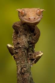 Crested Gecko Shedding Behavior by 127 Best Lizards Images On Pinterest Lizards