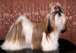 Shih Tzu Lhasa Apso Shedding by Shih Tzu Our Dogs And Us