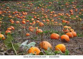 Pumpkin Patch In Long Island New York by Beautiful Pumpkin Field On Long Island Stock Photo 715262176