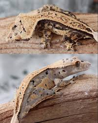 Extreme Halloween Crested Gecko by Photos Rhac U0027em Up Page 3